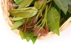 Cowa (cowa Roxb de Garcinia ), Chamuang (nom thaïlandais) des feuilles du nom Chamuangone Image libre de droits