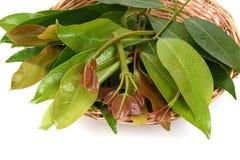 Cowa (cowa Roxb de Garcinia ), Chamuang (nom thaïlandais) des feuilles du nom Chamuangone Photos stock