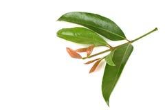 Cowa (cowa Roxb de Garcinia ), Chamuang (nom thaïlandais) des feuilles du nom Chamuangone Photos libres de droits