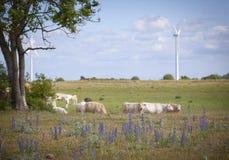 Cowa på ett fält Arkivfoto