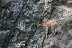 Coward animal stay on stone and indecisive to jump futher. Goat in rock mountains Stock Photo