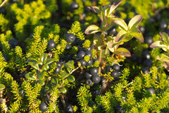 Cowberries σε έναν κλάδο με τα φύλλα Στοκ φωτογραφίες με δικαίωμα ελεύθερης χρήσης