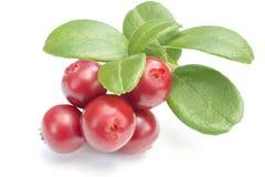 Cowberries - клюквы с листьями на белой изолированной предпосылке Стоковое Изображение