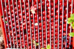 cowberries Стоковая Фотография