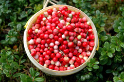 Free Cowberries Royalty Free Stock Photography - 3170237