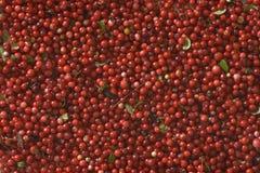 cowberries Стоковое Фото