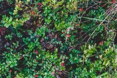 Cowberries. Closeup of cowberries (Vaccinium vitis-idaea) in a forest, top view Stock Photography