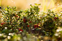 Cowberries at daybreak Royalty Free Stock Images