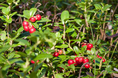 Cowberries in forest Royalty Free Stock Images