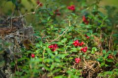 Cowberries in forest stock image