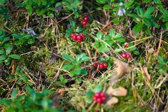 Cowberries in forest royalty free stock photography