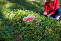Cowberries in forest stock photos
