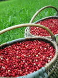 Cowberries. Fresh cowberries in wicker pick at the forest Royalty Free Stock Photos
