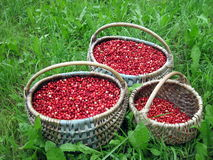 Cowberries. Fresh cowberries in wicker pick at the forest Stock Image