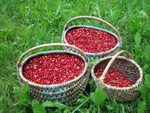 Cowberries Stock Image