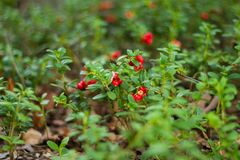 Cowberries in scandinavian nature royalty free stock photos
