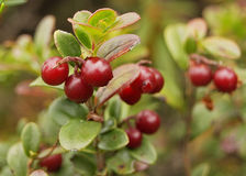 Cowberries shrub Royalty Free Stock Photo