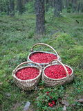 Cowberries Royalty Free Stock Image