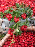 Cowberries Stock Photo
