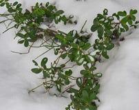 Cowberry θάμνοι που καλύπτονται με το πρώτο χιόνι Στοκ Φωτογραφία
