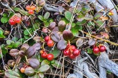Cowberry θάμνοι στο οροπέδιο Putorana στοκ εικόνες με δικαίωμα ελεύθερης χρήσης
