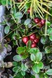 Cowberry θάμνοι στο οροπέδιο Putorana στοκ εικόνες
