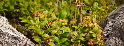 Cowberry θάμνοι Στοκ φωτογραφία με δικαίωμα ελεύθερης χρήσης