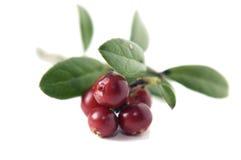 cowberry κόκκινο Στοκ φωτογραφία με δικαίωμα ελεύθερης χρήσης