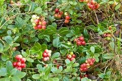 Cowberry στο δάσος Στοκ Εικόνες