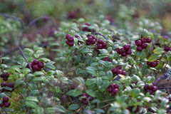 Cowberry στο βρύο te στοκ εικόνα