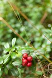 Cowberry χλωρίδα, δασικός lingonberry, αντιοξειδωτικά τρόφιμα φθινοπώρου r στοκ εικόνες