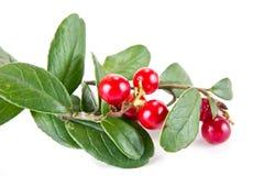 cowberry ώριμο Στοκ φωτογραφίες με δικαίωμα ελεύθερης χρήσης