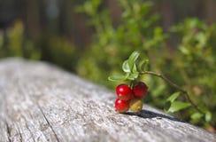 cowberry ветви зрелый Стоковые Фото