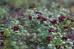 Cowberry в мхе te Стоковое Изображение