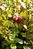 cowberry зрелый Стоковое Фото