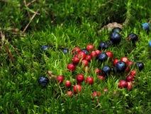 Cowberry и голубика на предпосылке мха Стоковые Фотографии RF