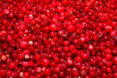 Cowberry предпосылки Стоковое Фото