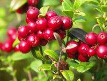 cowberry ягоды Стоковая Фотография