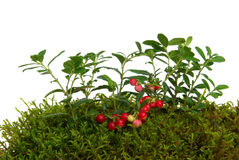 Cowberry 03 Royalty Free Stock Images
