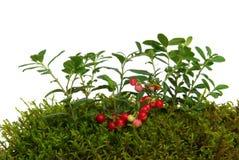Cowberry 03 Στοκ εικόνες με δικαίωμα ελεύθερης χρήσης