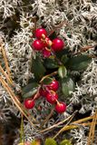 cowberry Στοκ εικόνες με δικαίωμα ελεύθερης χρήσης