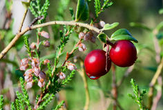 Cowberry. Stock Photo