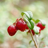 Cowberry. Royalty Free Stock Photos