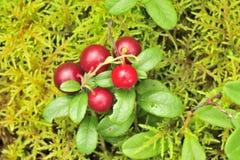 cowberry Стоковая Фотография RF