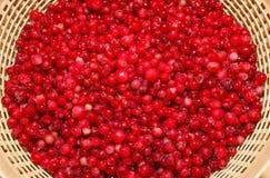Cowberry Стоковые Изображения