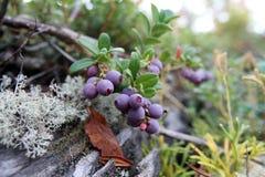 Cowberry στοκ εικόνες