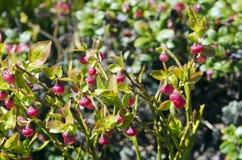 Cowberry Стоковое фото RF