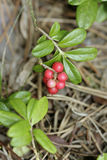 Cowberry. Fruits made out of the cowberry in the forest Royalty Free Stock Photography