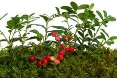 Cowberry Στοκ φωτογραφία με δικαίωμα ελεύθερης χρήσης