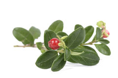 Cowberry. Twig of the cowberry on the white background Royalty Free Stock Images